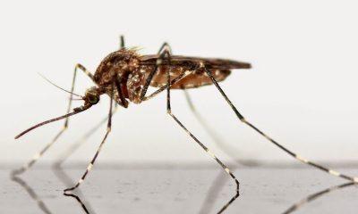 aedes dengue zika